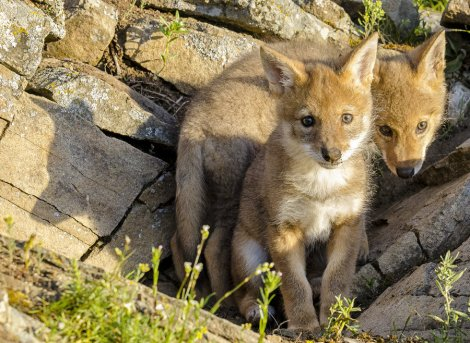 cute_coyotes_by_white_voodoo-d53rjvt-1