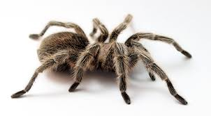 Image result for tarantula white background