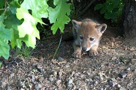 """Image result for cute coyotes"""""""